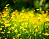 flower photo yellow bright- In The Meadow fine art photograph 7x10 photo print - sandraarduiniphoto