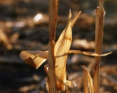 Simple Corn Stalks - 5x7 color - pictureshappen