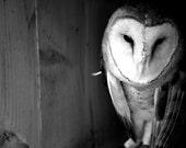 Barn Owl 8 x 10 Metallic Photographic Print - BlackWillowSoul