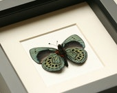 Charles Darwin Real Butterfly Display - BugUnderGlass