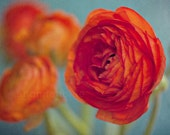 vibrant orange ranunculus flower / red, fire, fiery, turquoise, aquamarine, robins egg blue / brights / 8x12 fine art photograph - shannonpix