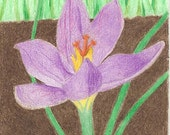 Print of original colored pencil ACEO, Crocus Opening, flower, flowers, purple, spring, 7 Card Draw