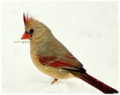 What - Original Female Cardinal In Snow Winter beauty Snow Snowing Cardinal in snow Red in white Cardinal red and white Fine Art Print 4x6 - mingtaphotography