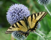 Swallowtail Butterfly on Globe Thistle 5 x7 Art Photograph Note Card with envelope - celtictravelers