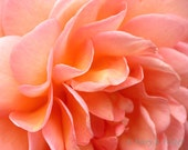 Flower Photography 'Abraham Darby' Rose Petals 10x8 apricot peach pink orange macro photo floral wall art nature photograph - MaryFosterCreative