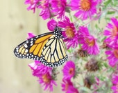 Monarch III - monarch butterfly garden art, summertime magenta asters, orange and black nature photography - 8X10 photograph - finchfieldart