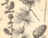 1887 Cones, Foliage Buds and Seeds of the European Larch Original Antique Engraving to Frame - CabinetOfTreasures
