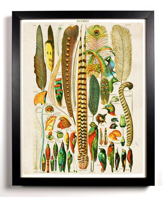 The Various Bird Feathers Chart Antique Illustration  8 x 10 Giclee Art Print Upcled Collage Recycled Book Art Buy 2 Get 1 FREE
