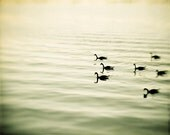 """Nature Photography - bird photography olive green wall art prints lake beige nature photos geese - 8x10 Photograph, """"The Pace of Nature"""" - CarolynCochrane"""