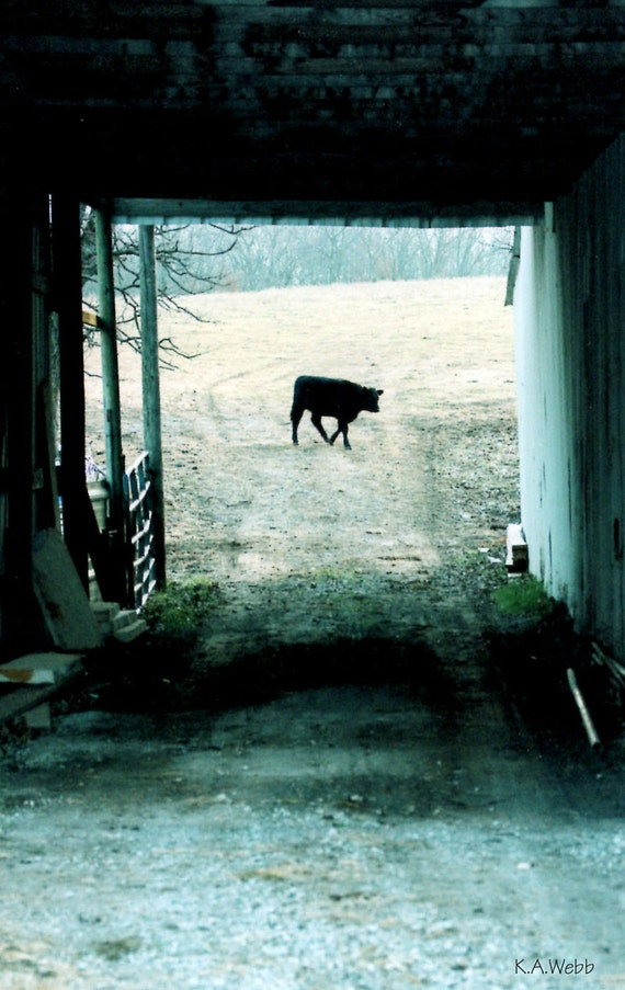 "Photo 5"" x 7"" of ""Morning Cow"" Spring Sale"