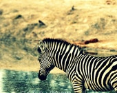 "African Safari Fine Art Photography 8""x10"" - Baby Zebra at watering hole. - CestLaVieArt"
