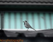 Black, White & Gray Bird Photo, Wall Decor (8x10) - kevphotography