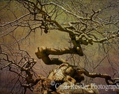 Wicked Tree 8x12 Fine Art Photography, Nature Photography - CindiRessler
