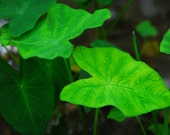 Single 8x12 print - Leaf photo - nature photography - NaturalImagesFotos