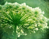 Photography - Queen Anne's Lace Wildflower in Green Textured Grunge Close up 8x10 - ShutterSoup