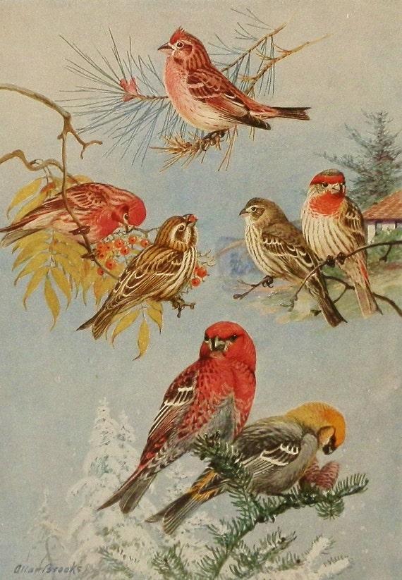 Урожай 1930 Фиолетовый Finch & Pine Grosbeak, Bird печати, античного искусства иллюстрации Bird (Allan Brooks Книга плиты 252-2)