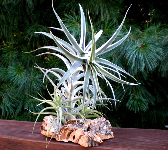 Tabletop Garden: Air Plants on Sustainable Virgin Cork Bark