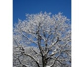 Snow Covered Maple Tree, 16 x 20, Fine Art Photograph, Clearing After The Snowstorm, The Maine View