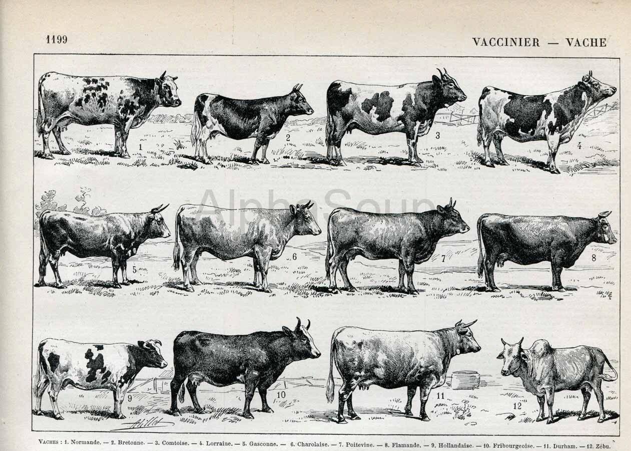 Cattle Breeds Chart