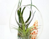 Hanging Air Plant Terrarium Tillandsias in Teardrop Glass Terrarium - Plantzilla