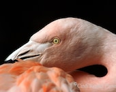 Flamingo, 5x7 Fine Art Photography, Bird Photography, Nature Photography - CindiRessler