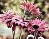 "Fine Art Photography - ""Cotton Candy Petals"" - EnchantedEarthArt"