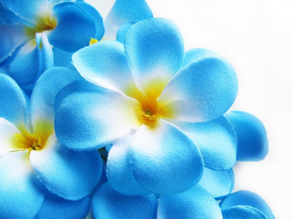 Blue plumeria flowers pinterest flowers tattoo and flower izmirmasajfo Images