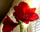 Photograph Amaryllis, 8 x 10 , Red Amaryllis Blossoms,  Fine Art Photograph