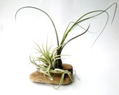Air Plants on Driftwood: Mounted Tillandsias on Tabletop Garden - Plantzilla