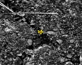 Teeny Tiny Lonely Yellow Flower in a Sidewalk, 12 x 18 glossy print - ImpressionistPhotog
