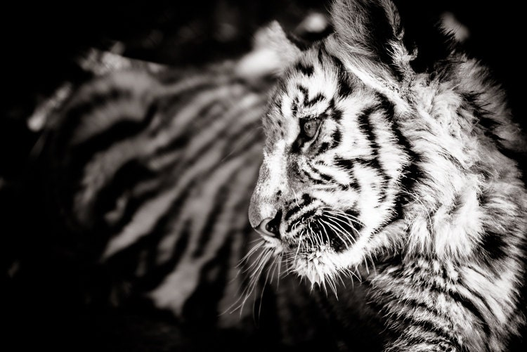 Black & White photos: Tiger Cub Photograph - Wildlife Art ...