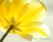 Fine Art Photography - Nature Photography - Yellow Tulip - Facing The Sun - 8 x 10 - CanThisBeLove