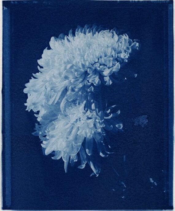 4x5 inch Cyanotype of Chrysanthemums