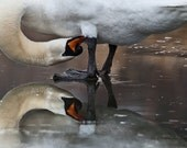 "REFLECTIONS of a Mute Swan - Bird Photography, Metalic Print, 4""x6"",Off White 8""x10"" Single Mat, - MichaelaSagatovaArt"