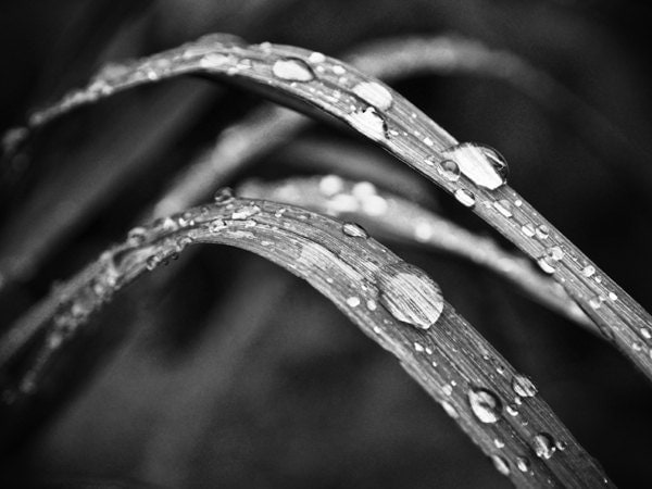 8x10 black and white nature photography blade of grass rain water drop autumn fall macro metallic 8 x 10 fine art photograph