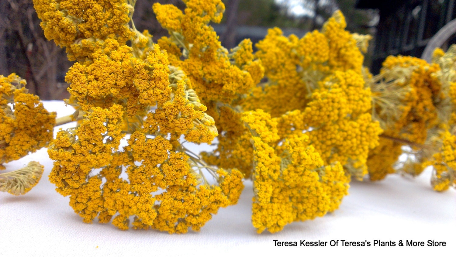 Yellow Yarrow dried floral LARGE 4 oz bunch-Yellow wedding flower    Yellow Yarrow Flower