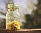 Jar of Sunshine 8x10 Fine Art Photography Spring Yellow Dandelion Atlas Mason Jar Rustic Farmhouse Shabby Cottage Chic Home Decor Wall Art - laughlovephoto