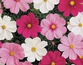 Cosmos (Cosmos Bipinnatus Mix) colors of pink, white,Red ,Gold  maroon and More (30 seed) One of the most popular annuals to grow