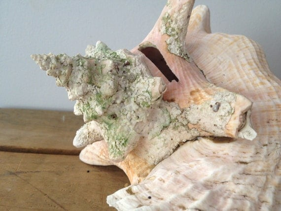 Memorial Day Sale - conch Huge Sea Shell - Shabby Chic Decor - Beach Decor - Nautical Decor