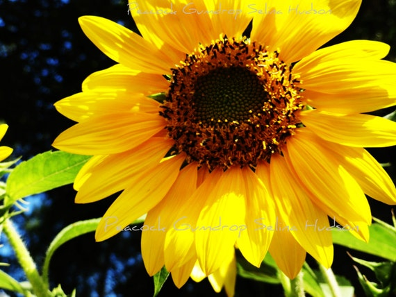 Beautiful Sunflower photo - 8 x 10 frame Print Art Photography Yellow