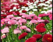 English Daisy (Bellis Perennis Super Enorma Mix