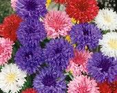 Cornflower (Centaurea Cyanus Polka Dot Mix)