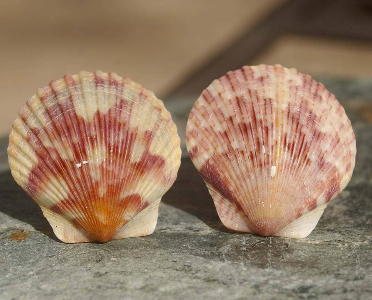 Scallop Shell CabiKnobs