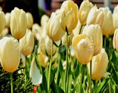 Blooming Tulips Dancing In The Sunlight. Wall Art Landscape Photography - MyOneGoodEye