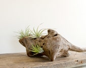 Tillandsias on Driftwood - urbanplantworks