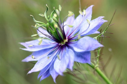 Loveinamist Flowers on Loveinamist Nigella Flower Seeds By Moonlightmicrofarm On Etsy