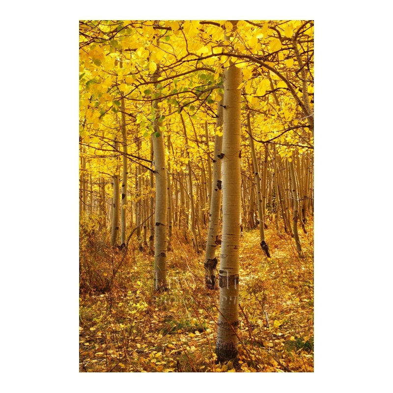 Luminous Golden Aspens Photo Autumn Colors Liquid Gold Landscape Photography 12x18 Medium Print Fall Leaves