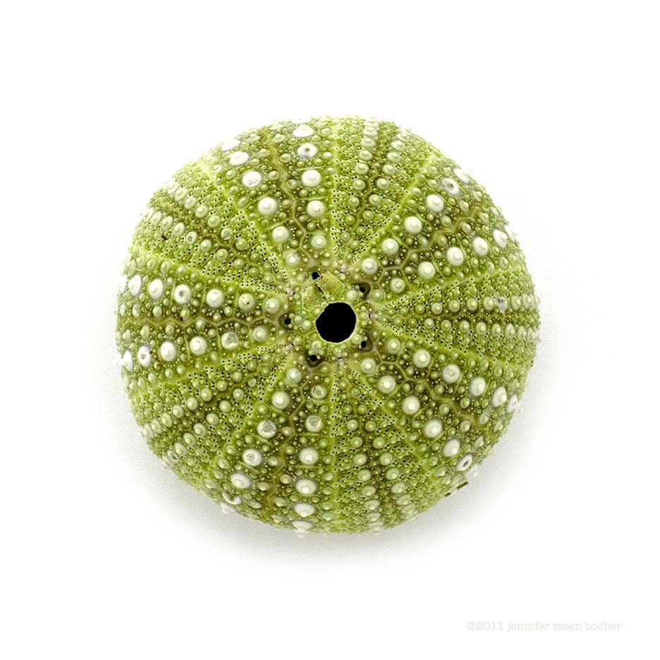 Sea Urchin No.2 - 12 x 12 beachcombing photograph - QuercusDesign