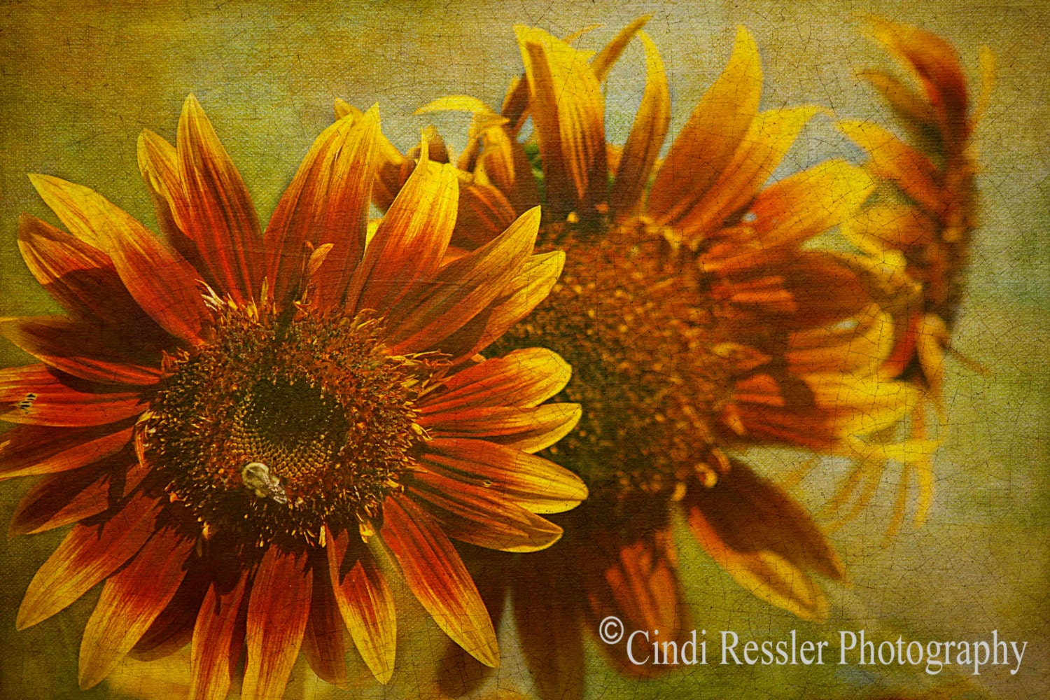 Sunflower Trio, 5x7 Fine Art Photography, Flower Photography, Floral Photography - CindiRessler