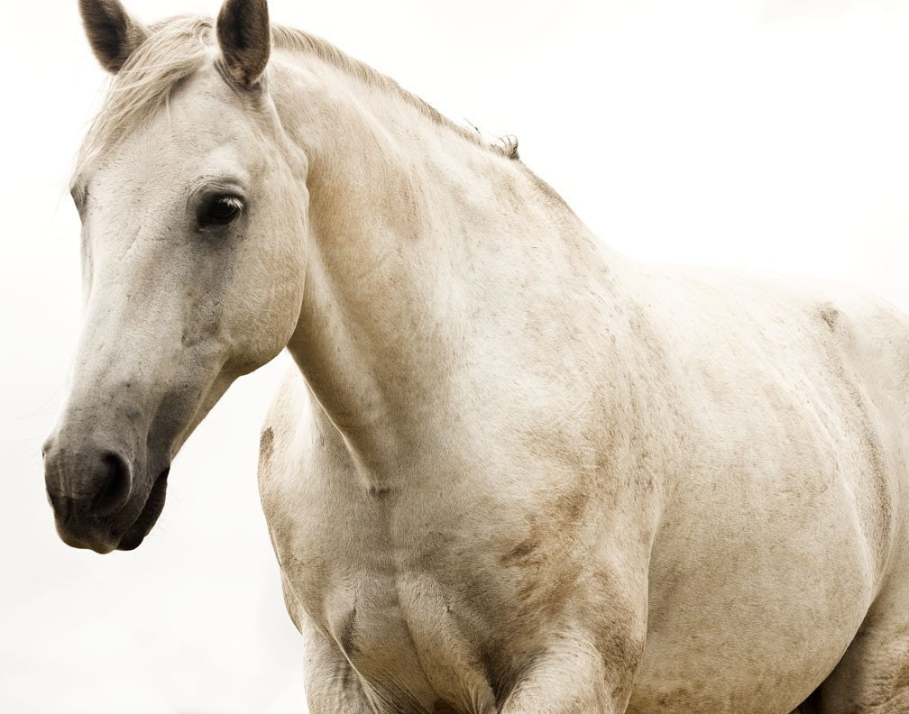 White Horse Photo, White Beauty, 8x10 print, Fine Art Equestrian Photography - ApplesAndOats